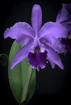 Cattleya Warscewiczii Palmetto Thunder AM / AOS - Orchideen - Unusual Flowers, Most Beautiful Flowers, All Flowers, Pretty Flowers, Purple Orchids, Purple Flowers, Orchid Flowers, Orquideas Cymbidium, Cattleya Orchid