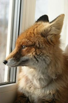 If only I had a pet fox.
