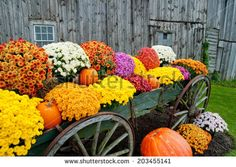 Colorful flowers in rustic wagon with pumpkins at fall roadside stand with barn in background - stock photo Fall Flowers, Colorful Flowers, Farm Backdrop, Adventure Farm, Farm Gate, Pumpkin Farm, Flower Cart, Corn Maze, Farm Stand