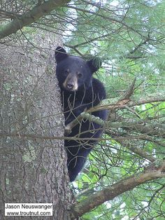 A black bear cub stares down at me from a large pine near one of my favorite trout streams. StateWisconsin