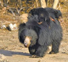 aka the labiated bear or Stickney Bear.a bear native to the Indian subcontinent.average 2 feet tall at the shoulder and feet long.have a long, shaggy coat that forms a mane around its face Sloth Bear, Bear Cubs, Rare Animals, Animals And Pets, Beautiful Creatures, Animals Beautiful, Cute Bears, Black Bear, My Animal