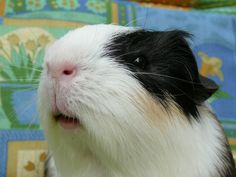 At the moment we are still living separated and am I waiting for a little operation, so we can live together in a few weeks! My owner doesn't want more than two guineapigs, you see.... But there will be a surprise, she bought a pregnant guineapig... :)