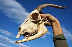 Cranio capra