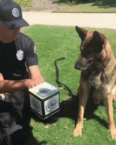 Meeting Jack (in the Box) #germanshepherd Cute Puppies, Cute Dogs, Dogs And Puppies, Doggies, Chihuahua Dogs, Animals And Pets, Funny Animals, Cute Animals, Royal Animals