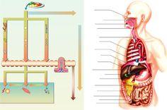 Digestion et appareil digestif