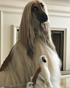 Beautiful Dog Breeds, Beautiful Dogs, Pretty Animals, Cute Animals, Scruffy Dogs, Giant Dogs, Afghan Hound, Horses And Dogs, Hound Dog