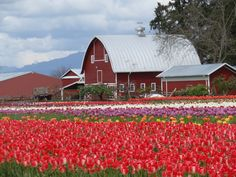 Tulip Festival, Mount Vernon, Washington, USA