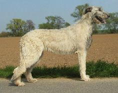 Irish Wolfhound: hold's the world record for tallest dog :) Big Dogs, I Love Dogs, Tallest Dog, Irish Terrier, Beautiful Babies, Pet Portraits, Animals And Pets, Dog Breeds, Irish Wolfhounds