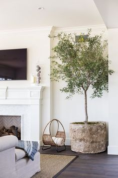 Real house plants cheap for sale online indoor trees best large tall houseplants home and offices . Living Room Decor On A Budget, Coastal Living Rooms, Interior Design Living Room, Living Room Designs, Indoor Olive Tree, Indoor Trees, Indoor Plants, Potted Olive Tree, Faux Olive Tree