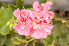 está flor fue tomada en una de los parques de miraflores..  Fotografiado por:©JackieCreativa