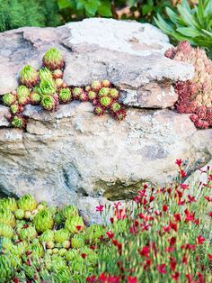 Designing with Succulents  A rock garden can give a diminutive succulent a place to shine. Here, hens-and-chicks tucks into a rocky crevice and stands out from the rocky site with its contrasting green and red hues. Although succulents may look fragile, they can thrive in intense sun and do well in dry conditions with little maintenance.