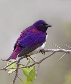 I have never seen one- beautiful! purple bird I always wish I knew what they were called