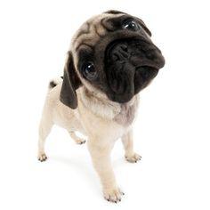 Artlist Collection THE DOG pug — When you talk, all I hear is blah, blah, blah.