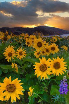 A Field Full Of Arrowroot Balsam - Rowena Plateau, Columbia Gorge Scenic Area, Oregon