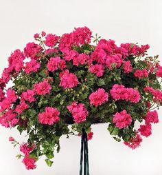 Neprehliadnuteľná plnokvetá pelargónia s cukríkovo ružovými kvetmi. Black Mamba, Limes, Hot Pink, Plants, Geraniums, Balconies, Planters, Lime, Plant