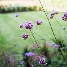 Another favourite plant of ours is Verbena Bonariensis,  They add airy height to borders and work well with so many plants. One added benefit is that they're immensely popular with pollinators and will invite them into your garden!  We are still offering garden design and planting design amongst all our other services so get in touch today - 07706 807 552  #plant #garden #plantingdesign #gardendesign #heretohelp #supportlocal Plant Design, Garden Design, Invite, Invitations, Verbena, Planting, Benefit, Gardens, Touch