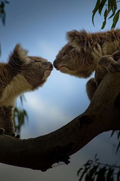 Roses are red, Eucalyptus leaves are green, You've got the cutest nose I've ever seen! - photo Martin Kleppe
