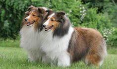 Sheltie: Shetland Sheepdog- 6th smartest dog in the world! Very energetic and easy to train, but barks more than average
