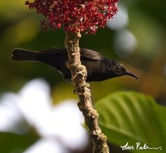 Black Myzomela (Myzomela nigrita)