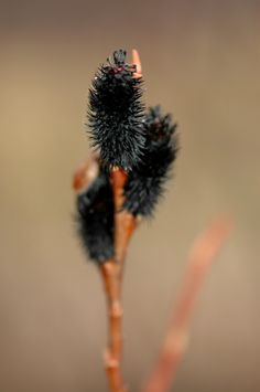 The dramatic black pussy willow in A Garden For All by Kathy Diemer http://agardenforall.com