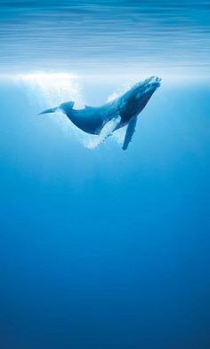 This would be an ultimate dream come true on the bucket list to swim with these guys. ~#Humpback whale. #whale #blue