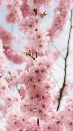 A cherry blossom wallpaper you can use to brighten up your phone. Spring Aesthetic, Nature Aesthetic, Rainbow Aesthetic, Flower Aesthetic, Cherry Blossom Wallpaper Iphone, Cherry Blossom Background, Flower Phone Wallpaper, Cherry Blossom Pictures, Cherry Blossom Japan