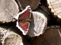 Another butterfly I've seen for the first time