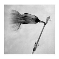 Cece Wheeler: Sideways Carnation (photogram) Heart Photography, Carnations, Prints, Inspiration, Biblical Inspiration, Inspirational, Inhalation