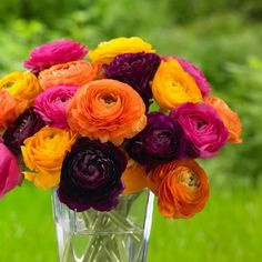 All-About-Ranunculus