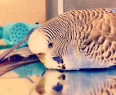 Hmmm budgie dilemma... Sleep or play?