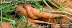 Carrot Carrot Pests & Diseases