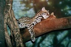 A beautiful picture of an ocelot in a tree. They are so beautiful.  The Incensewoman