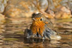 Dit roodborstje geniet van een een heerlijk bad ....!    foto : antino cervigni