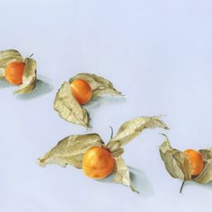 Physalis by Anna Roberts