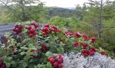 Autumnal view provides a lot of lingonberries, Finland Marjaana Lahtinen Native Foods, Tom Of Finland, Summer Berries, Nature View, Edible Plants, Fruit Trees, Nature Photos, Food Pictures, Wonders Of The World