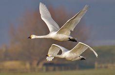 flying swans - Google-søgning