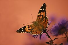 Admiral butterfly nectaring on flower in garden designed by Brent Knoll of Knoll Landscape Design