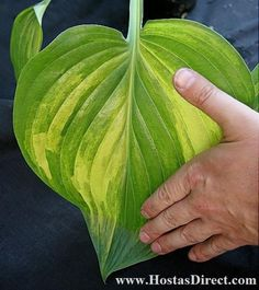 """Hosta  'JUSTICE' - Sun resistant.  Height:  24"""".  Spread:  48"""".   Leaf size:  Tall:  12"""", Width:  8"""".  Slow growing"""