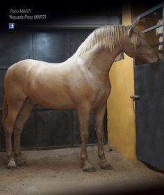 Beautiful golden horse with clean shiny coat. Peeking over at his buddy next door.