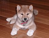 Yes... I want a puppy.  This is gonna have to wait for a house though.  This particular furry ball of cuteness is a Shiba Inu.