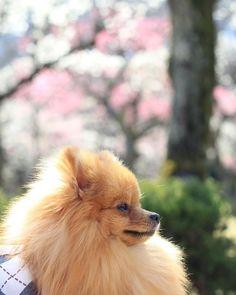 梅の花を見てきたよ✨ もう少ししたら満開かなぁ🎶  #ポメラニアン #パピー#ポメ#かわいい #仔犬 #10ヶ月#えいと#愛犬 #もふもふ#canon #eos60d#一眼レフ初心者#カメラ練習中#ポメスタグラム #梅林#薬師池公園#わざとこっち向かない…#歩き疲れた? #pomeranian#puppy#pom#10months#dog#cute#camera
