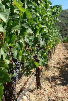 how to choose your vines. Charlottesville Wineries, Virginia Wineries, East Coast Travel, Cooking Wine, New City, Wine Country, Wine Tasting, Along The Way, Good Times