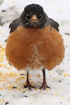 Grumpy Robin In The Snow (I get grumpy, too, when I'm ready for spring weather, and it snows..... again)