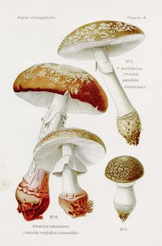 Fine Art Prints, Framed Prints, Canvas Prints, Fungi, Botany, Mushroom Vegetable, Fine Art Paper, Photo Greeting Cards