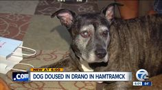 D. Ericson & Associates Public Relations client Detroit Dog Rescue up ante - reward for info leading to arrest - Thieves Douse Dog in Drano During Michigan Home Invasion