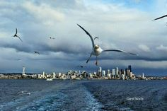 Gulls following the ferry out of Seattle into Eagle Harbor