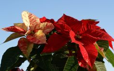 Euphorbia Pulcherrima, Poinsettia, Indoor Garden, Flowers, Plants, Plant, Royal Icing Flowers, Flower, Florals