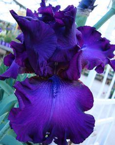 """Such a Strange Flower"" Iris germanica © Sugared Impressions 2012"