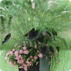 A AngelMist™ Pink Angelonia B Black Magic Colocasia C Grass Pennisetum setaceum  D Easy Wave™ Shell Pink Spreading Petunia