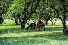 Fodder plants and poisonous plants for goats